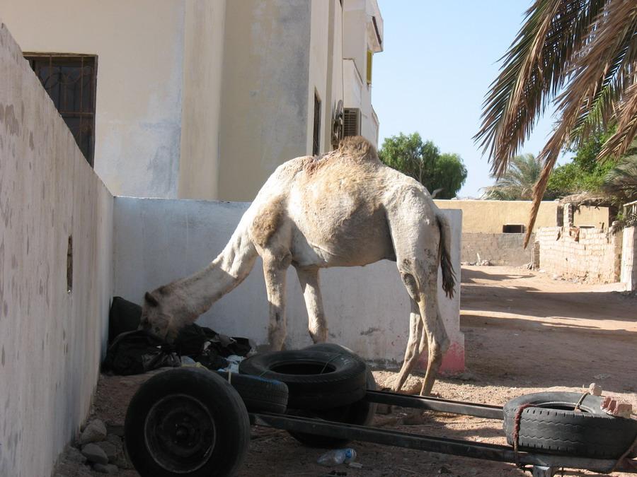 Верблюды оказывается тоже картоном питаются.