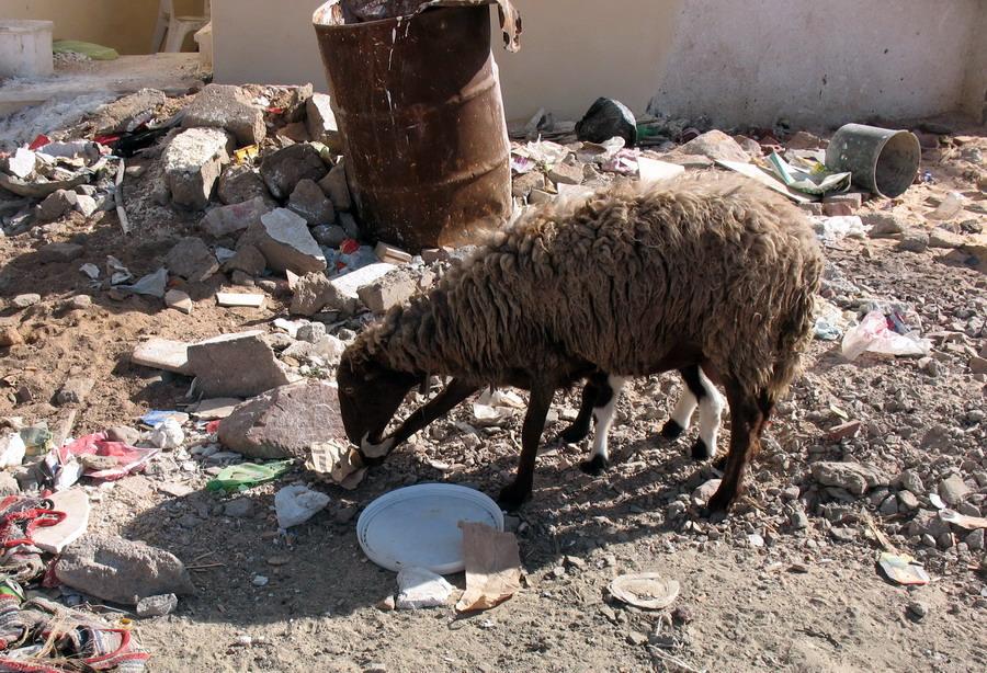 Овцы и козы - уничтожители отходов